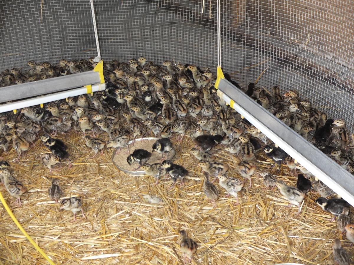 Élevage de faisans et de perdrix en Dordogne